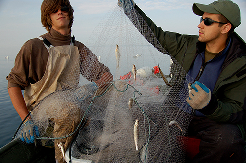 Commercial fishermen with a net full of fish