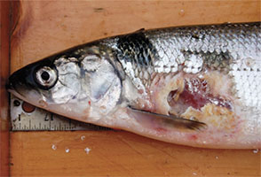 Front half or whitefish with gaping sea lamprey wound that caused death.